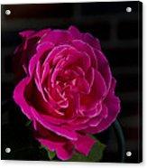 Full Bloom Morning Rose Acrylic Print