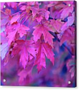 Full Frame Of Maple Leaves In Pink And Acrylic Print