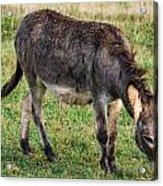 Full Grown Donkey Grazing Acrylic Print