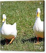 Fun Ducks Acrylic Print