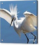 Fun Snowy Egret Acrylic Print