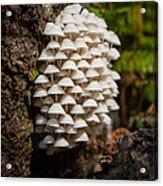 Fungal Gathering Acrylic Print