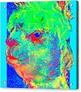 Funky Alpaca Baby Acrylic Print