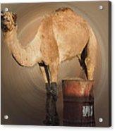 Funny Beduin Camel Talk  Acrylic Print
