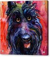 Funny Curious Scottish Terrier Dog Portrait Acrylic Print by Svetlana Novikova