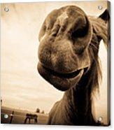 Funny Horse Sepia Acrylic Print by Paulina Szajek