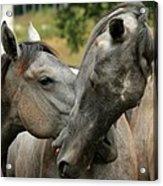 Funny Horses Acrylic Print