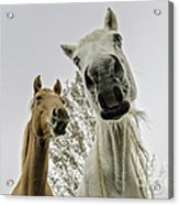 Funny Horses Acrylic Print by Cindy Bryant