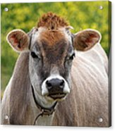 Funny Jersey Cow -square Acrylic Print