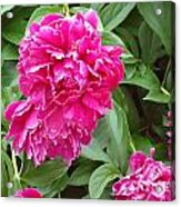 Pretty In Pink Acrylic Print by Katie Spicuzza