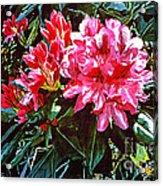 Fuschia Rhododendrons Acrylic Print