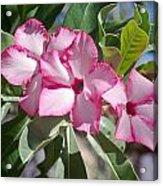 Fushia Oleander Near Phoenx Arizona 2 Acrylic Print