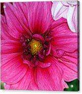 Fushia Pink Dahlia Acrylic Print
