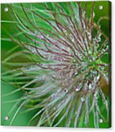 Fuzzy Flower Acrylic Print by Sarah Crites