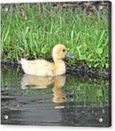 Fuzzy Little Yellow Duck Acrylic Print