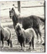 Fuzzy Ponies Acrylic Print