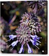 Fuzzy Purple 1 Acrylic Print