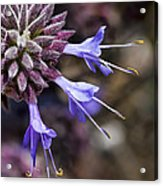 Fuzzy Purple Detail 2 Acrylic Print