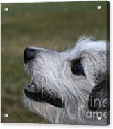 Fuzzy Whiskers Acrylic Print