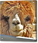 Fuzzy Wuzzy Alpaca Acrylic Print by Helen Carson
