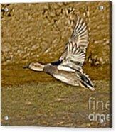 Gadwall Drake In Flight Acrylic Print