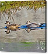 Gadwall Pair Swimming Together Acrylic Print