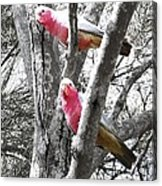 Galahs In A Tree Acrylic Print
