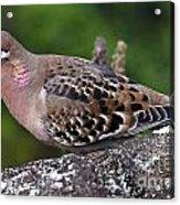 Galapagos Dove Galapagos Islands National Park Santa Cruz Island Acrylic Print