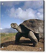Galapagos Giant Tortoise On Alcedo Acrylic Print