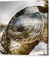 Galapagos Giant Tortoise V2 Acrylic Print