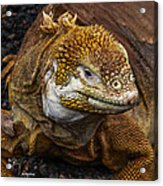 Galapagos Land Iguana  Acrylic Print by Allen Sheffield