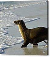 Galapagos Sea Lion In Gardner Bay Acrylic Print