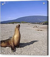 Galapagos Sea Lion Juvenile On Beach Acrylic Print