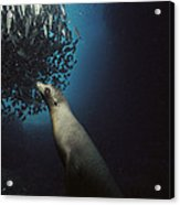 Galapagos Sea Lion Pup Fishing Acrylic Print