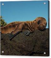 Galapagos Sea Lion Pup (zalophus Acrylic Print