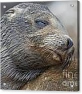 Galapagos Sea Lion Sleeping Acrylic Print