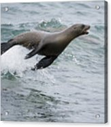 Galapagos Sea Lion Surfing  Mosquera Acrylic Print