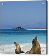 Galapagos Sea Lions On Beach Galapagos Acrylic Print