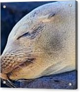 Galapagos Sealion Acrylic Print