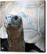 Galapagos Tortoise 1 Acrylic Print