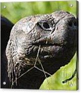 Galapagos Tortoise Galapagos Islands National Park Santa Cruz Island Acrylic Print