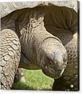Galapagos Turtle Acrylic Print