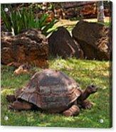 Galapagos Turtle At Honolulu Zoo Acrylic Print