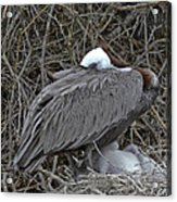 Galapagos - Watchful Pelican Acrylic Print