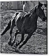 Gallop 2 Acrylic Print