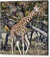 Galloping Giraffe  Acrylic Print