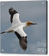 Gannet In Flight Acrylic Print