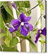 Garden Clematis Acrylic Print