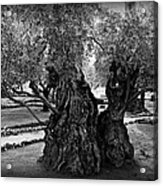 Garden Of Gethsemane Olive Tree Acrylic Print