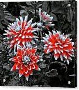 Garden Pom Poms Acrylic Print